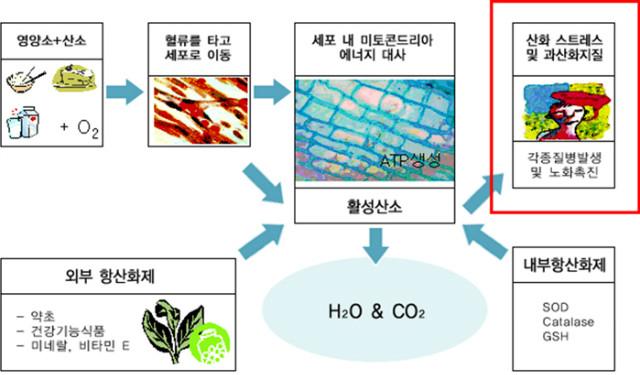 활성산소-암과-당뇨질환원인_2.jpg